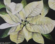 White Pointsettia